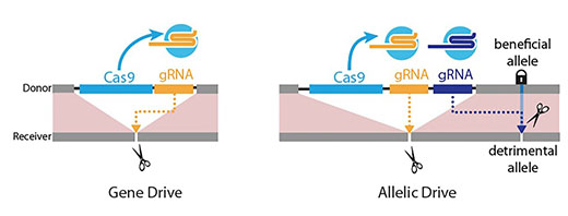 Gene drives get a precision upgrade