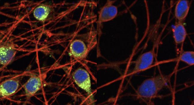 CRISPRi Cell Line
