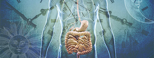 How the gut keeps time — and keeps us healthy