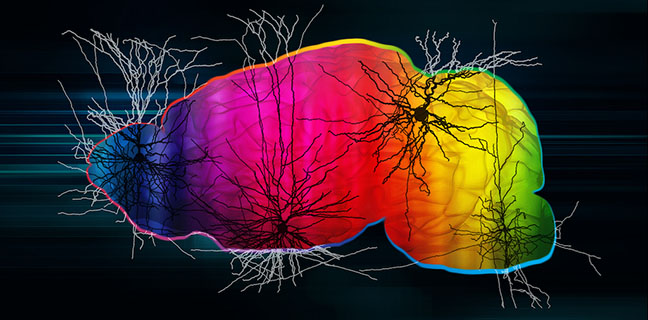 Study maps all the types of neurons across two major structures of the mouse brain